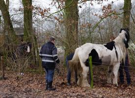 Paarden verstrikt in prikkeldraad.
